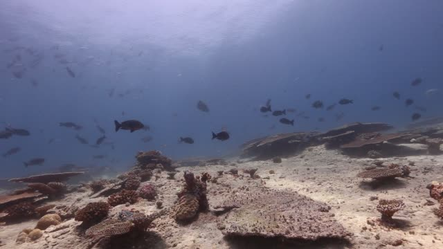 vídeos de stock e filmes b-roll de napoleon on the shallow reef - 40 segundos ou mais