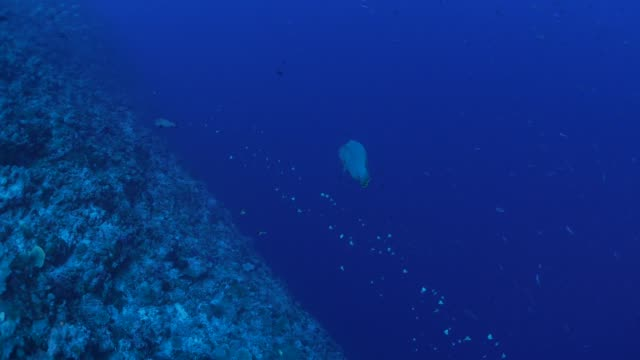 napoleon wrasse and butterflyfish in undersea coral reef - hemitaurichthys polylepis stock videos and b-roll footage