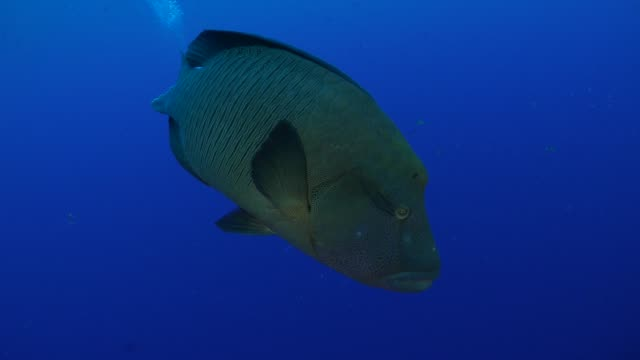 napoleon wrasse approach scuba diver, blue corner, palau - humphead wrasse stock videos & royalty-free footage