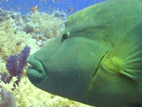 Napoleon wrasse CU as swims above reef