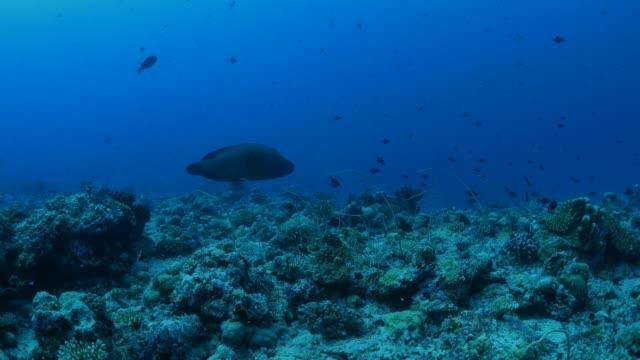 napoleon wrasse (humphead) at deep sea coral reef, palau - humphead wrasse stock videos & royalty-free footage