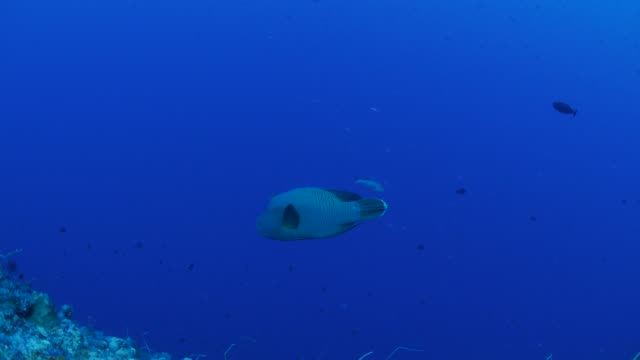napoleon wrasse at deep sea coral reef, palau - wrasse stock videos & royalty-free footage
