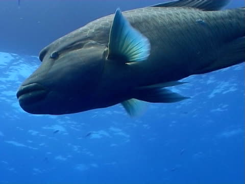 Napoleon wrasse cruising in open water below a boat