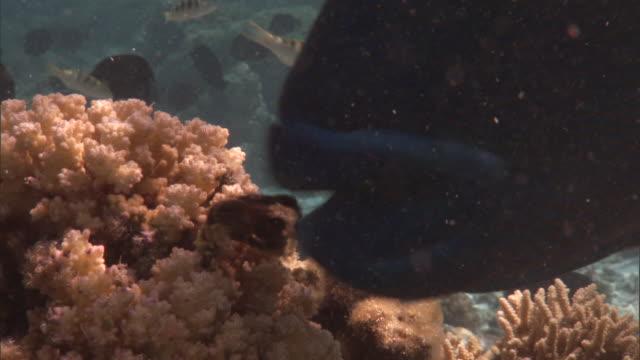 napoleon wrasse (cheilinus undulatus) eats crab on coral reef, french polynesia - wrasse stock videos & royalty-free footage