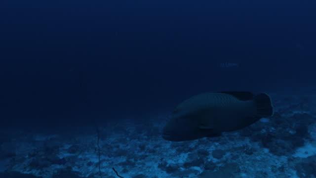 napoleon wrasse fisch schwimmen in der nähe der kamera - lippfisch stock-videos und b-roll-filmmaterial