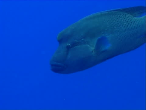 vídeos de stock, filmes e b-roll de napoleon wrasse in open water - parte do corpo animal