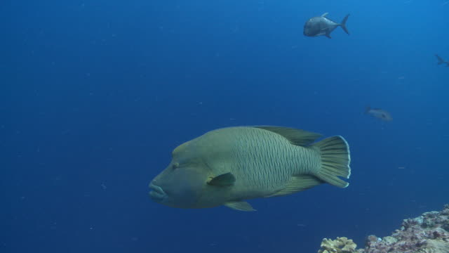 ms ts napoleon wrasse on reef / palau, micronesia, palau  - wrasse stock videos & royalty-free footage