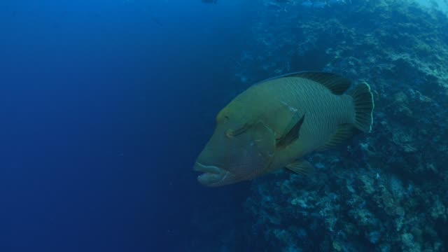 napoleon wrasse (humphead) swimming close to scuba diver - wrasse stock videos & royalty-free footage