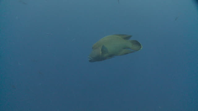 napoleon wrasse (cheilinus undulatus) swimming in blue ocean, vaavu atoll, the maldives - wrasse stock videos & royalty-free footage