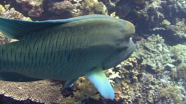 napoleon wrasse (cheilinus undulatus) - humphead wrasse stock videos & royalty-free footage