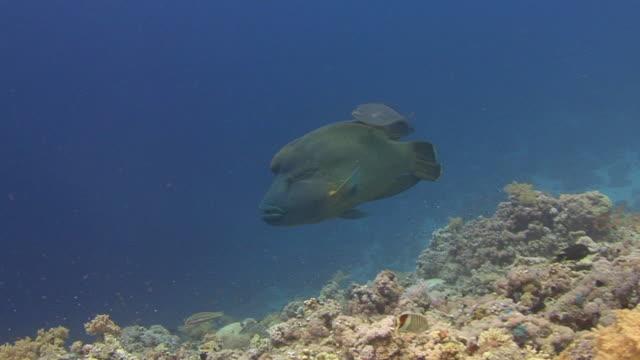 napoleon-lippfisch (cheilinus undulatus - lippfisch stock-videos und b-roll-filmmaterial