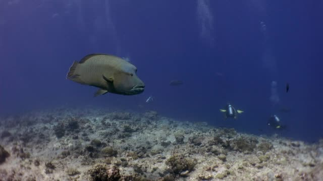 napoleonfish is closing to diver - humphead wrasse stock videos & royalty-free footage