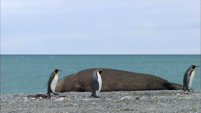 Napping Elephant Seal and King Penguins walking in front