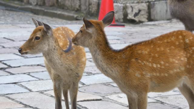 nara deer - nara prefecture stock videos and b-roll footage