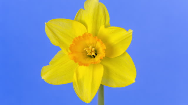 narcissus blooming against blue background in a 4k time lapse movie. daffodile growing blooming and blossoming in moving time lapse. - weiß stock videos & royalty-free footage