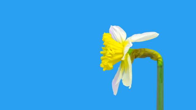 narcissus blooming against chroma key background in a time lapse hd 1080 video. - paperwhite narcissus stock videos & royalty-free footage