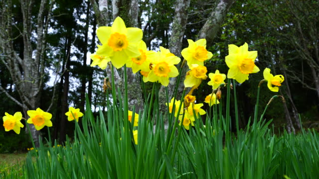 Narcissus in the forest