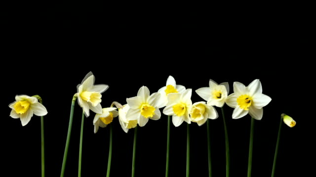 narcissus opening process - daffodil stock videos and b-roll footage