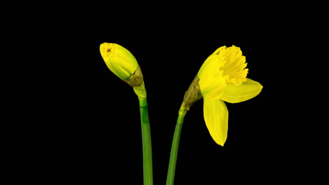 Narcissus Time Lapse (4k)