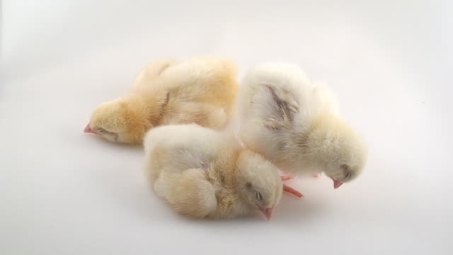 narcoleptic chicks - three animals stock videos & royalty-free footage