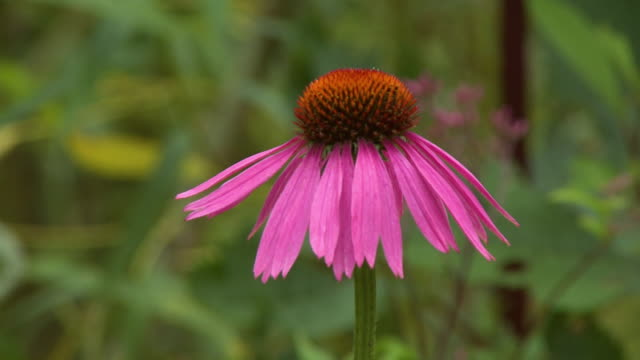 narrow-leaved purple coneflower - sonnenhut stock-videos und b-roll-filmmaterial