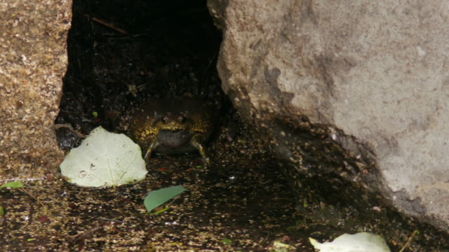 narrow-mouthed toad crying between rocks / cheongju-si, chungcheongbuk-do, south korea - disguise stock videos & royalty-free footage