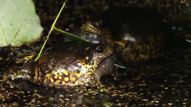 narrow-mouthed toads crying for finding a mate in a puddle / cheongju-si, chungcheongbuk-do, south korea - wasserpflanze stock-videos und b-roll-filmmaterial