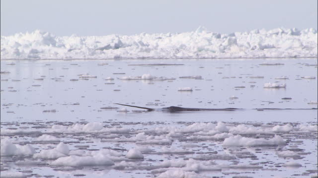 narwhal on the surface of the sea in the north pole - crushed ice stock videos & royalty-free footage