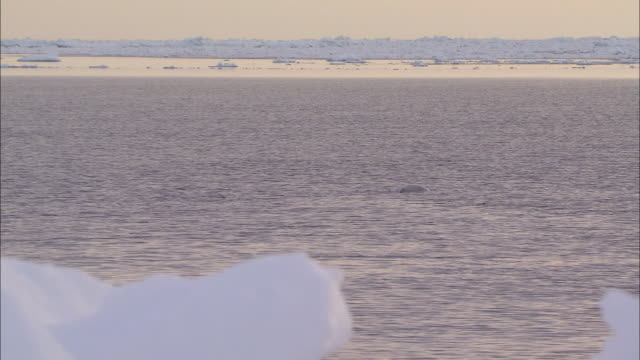 vidéos et rushes de narwhal on the surface of the sea in the north pole - iceberg bloc de glace