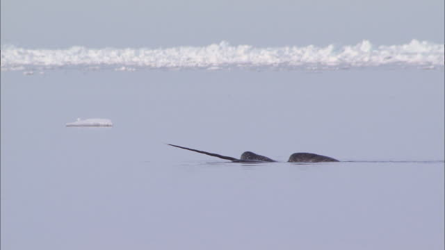 vidéos et rushes de narwhal tusk on the surface of the sea in the north pole - iceberg bloc de glace
