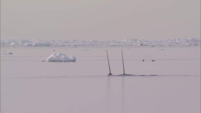 vidéos et rushes de narwhal tusks on the surface of the sea in the north pole - iceberg bloc de glace
