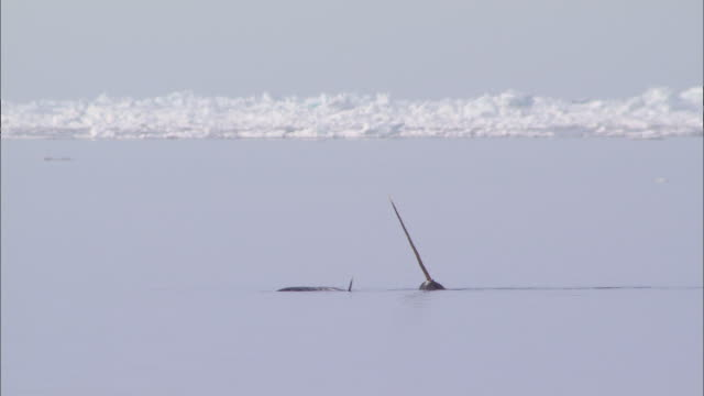 vidéos et rushes de narwhals on the surface of the sea in the north pole - iceberg bloc de glace
