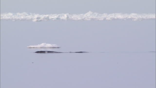 narwhals on the surface of the sea in the north pole - crushed ice stock videos & royalty-free footage