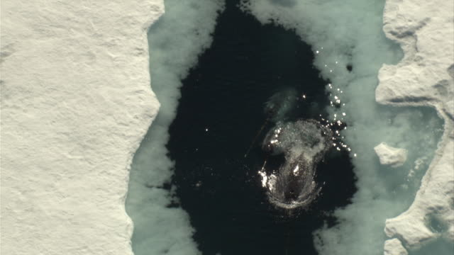 Narwhals surface in a breathing hole between sheets of ice.