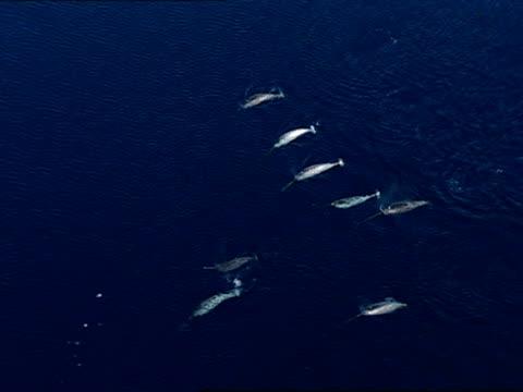 aerial, narwhals swimming in sea, lancaster sound, nunavut, canada  - kleine gruppe von tieren stock-videos und b-roll-filmmaterial