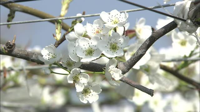 vídeos y material grabado en eventos de stock de nashi pear flowers   medium shot - pera