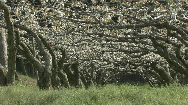 vídeos y material grabado en eventos de stock de nashi pear trees   long shot - pera