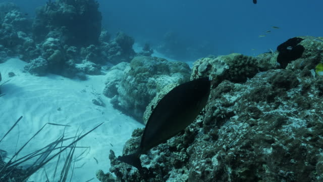 vídeos de stock e filmes b-roll de naso fish is cleaned by cleaner wrasse undersea in maldives - labro