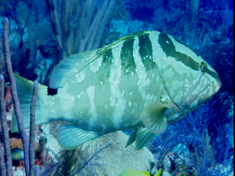 a nassau grouper hovers among colorful corals and other fish. - other stock videos & royalty-free footage
