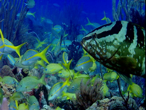 a nassau grouper swims among a school of french grunts along a coral reef. - grunt fish stock videos and b-roll footage