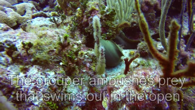 nassau groupers are plentiful in the caribbean and they are one of the biggest and most successful hunters on the reef. highly intelligent, agile and... - animal mouth stock videos & royalty-free footage