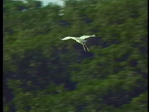 national audobon society scientist george powell says the ecosystem of great white herons is in danger. - 生殖器点の映像素材/bロール