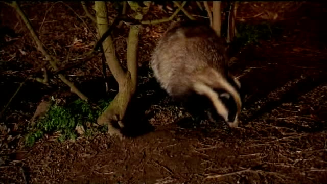 national farmers union wins injunction against badger cull protesters; r27020806 / 27.2.2008 location unknown: night badger foraging in undergrowth - national farmers union stock videos & royalty-free footage
