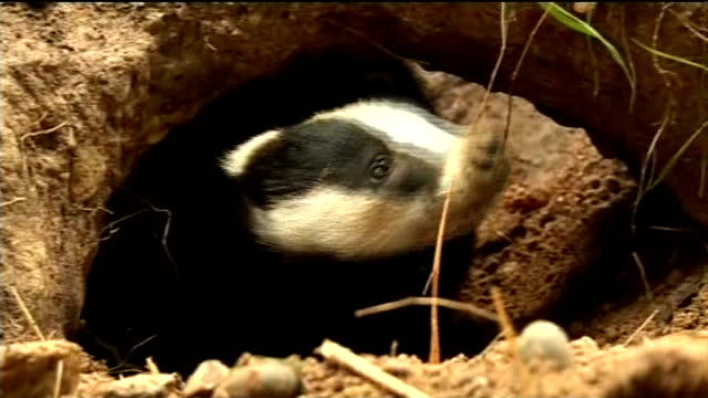national farmers union wins injunction against badger cull protesters; r19071118 / 19.7.2011 kent: day badger looking out of hole in wildlife park... - national farmers union stock videos & royalty-free footage