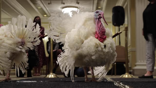 national thanksgiving turkeys 'corn' and 'cob' are presented to journalists in the grand ballroom of the willard intercontinental hotel november 23... - thanksgiving politics stock videos & royalty-free footage