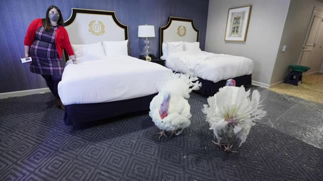 national thanksgiving turkeys 'corn' and 'cob' rest in their 4th-floor room at the willard intercontinental hotel november 23 in washington, dc. the... - thanksgiving politics stock videos & royalty-free footage