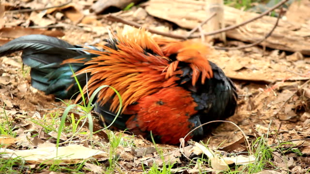 native cock preening. - becco video stock e b–roll