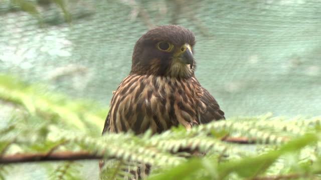 native kārearea bird at wildlife reserve - falcon bird stock videos & royalty-free footage