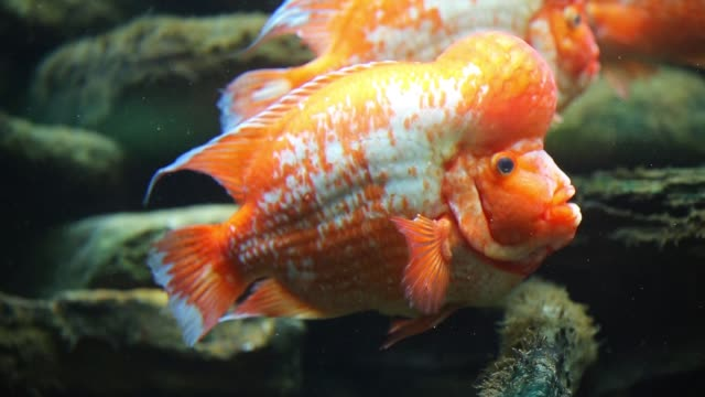 native to central american lakes and rivers midas cichlid swim in a tank at the john g shedd aquarium on october 3 2014 in chicago illinois shedd... - shedd aquarium stock videos and b-roll footage