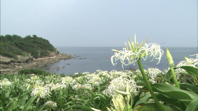 vídeos y material grabado en eventos de stock de natsuigahama beach abloom with crinum asiaticum   long - hymenocallis caribaea